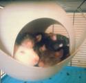 Photos de mes rats/rattes ! 20130413