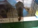 Photos de mes rats/rattes ! Img00410