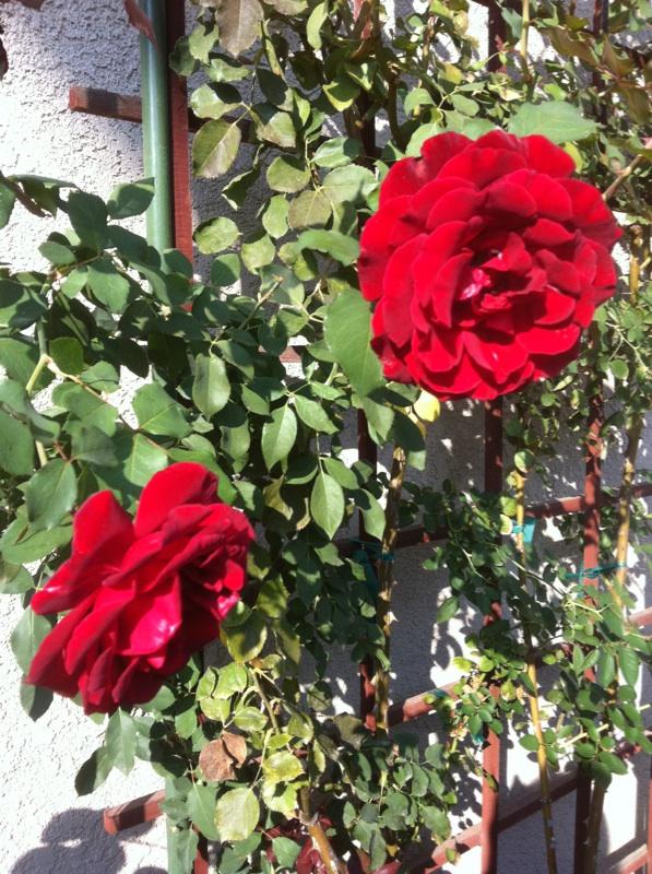 Roses Rose_d10