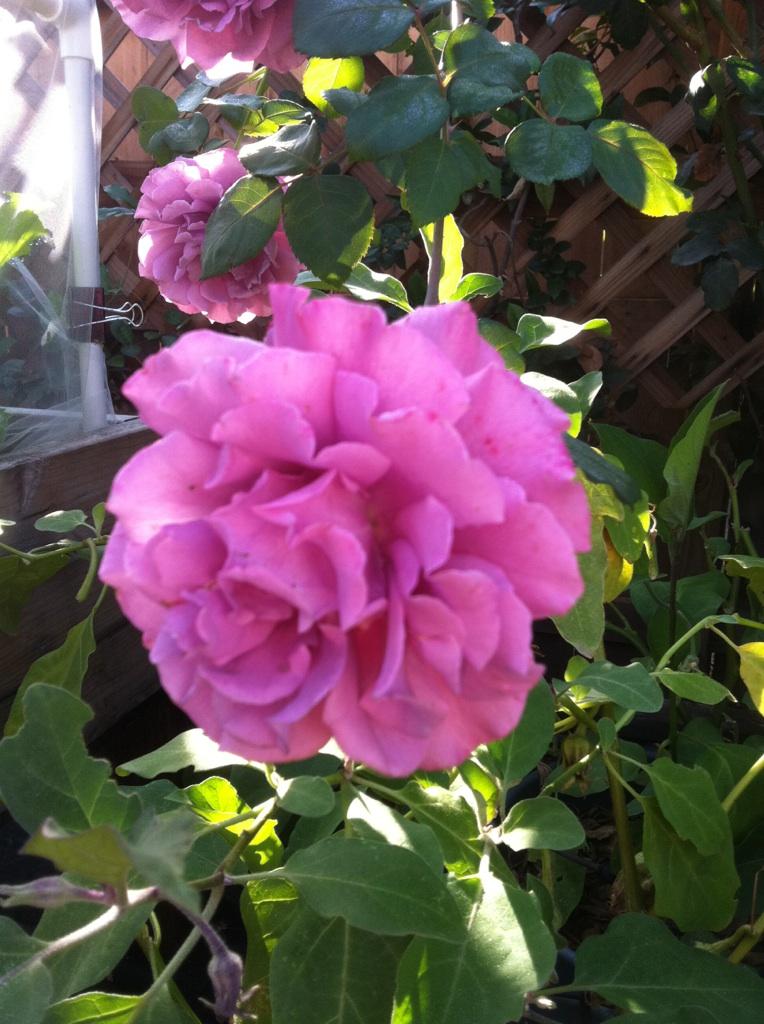 Roses Rose_p10