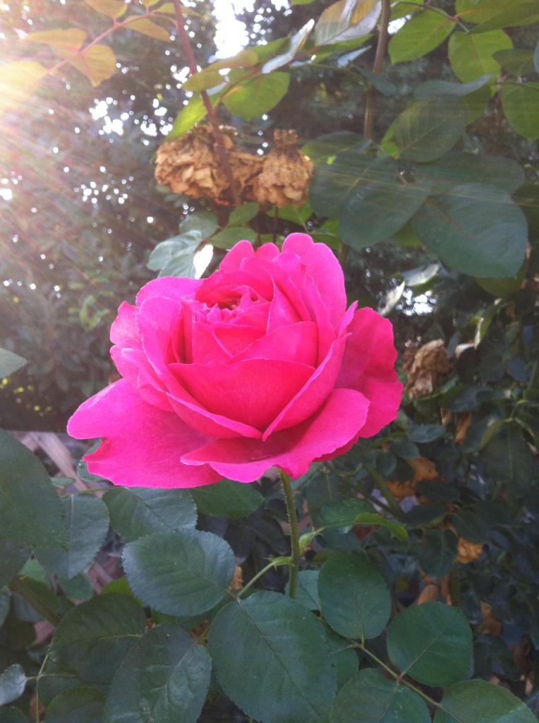 Roses Roses_10