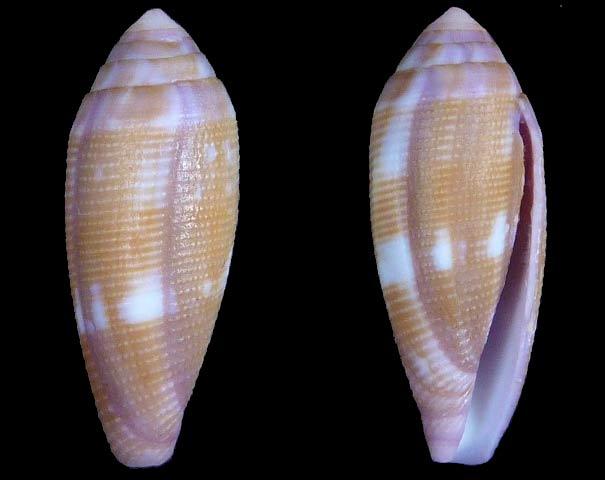 Conus (Leporiconus) pomareae   E Monnier & L Limpalaër, 2014 Sans-t10