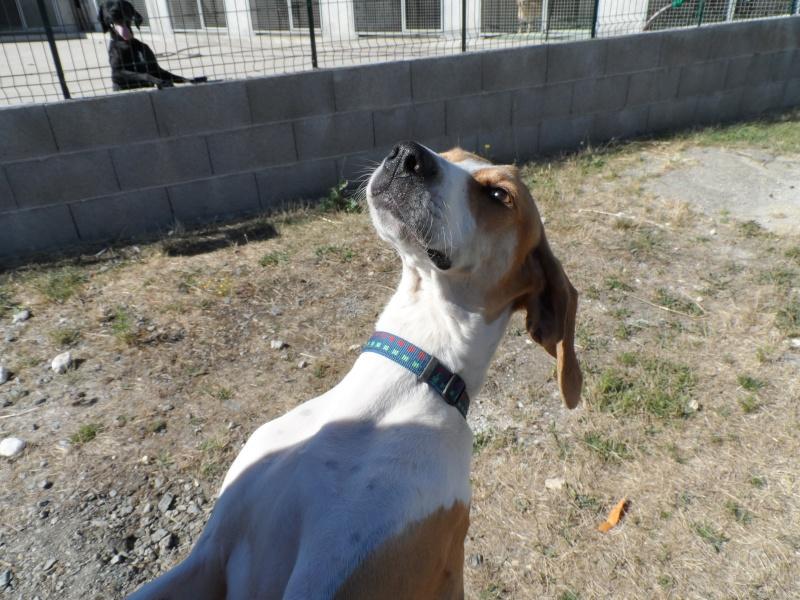 UNO, mâle type beagle, 3 ans (ASSO GALIA - 85) - Page 2 Sam_0519