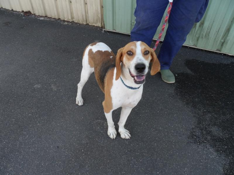 UNO - Mâle - X beagle - 4 ans Sam_0520