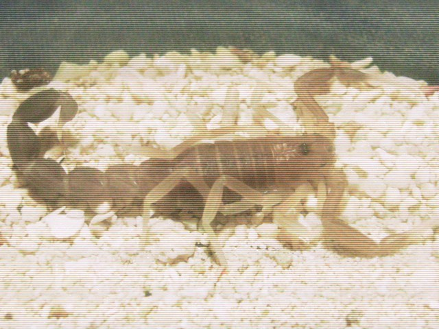 Who molted today? (Scorpion molting pics) - Page 3 A11