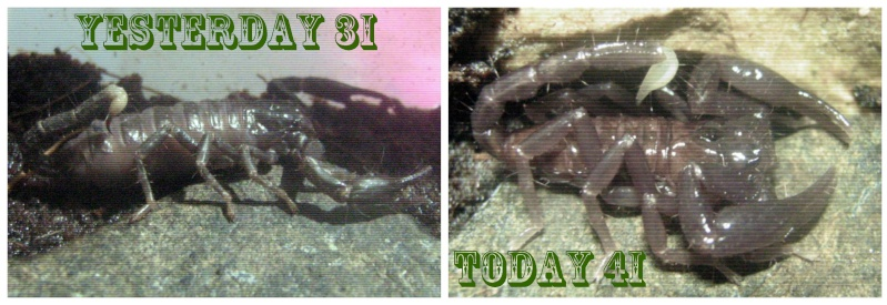 Who molted today? (Scorpion molting pics) - Page 3 Picmon10