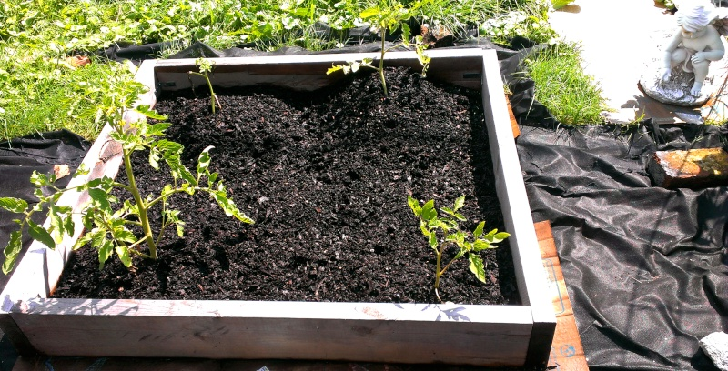 Is it possible to start tomato plants from a cutting 20130849