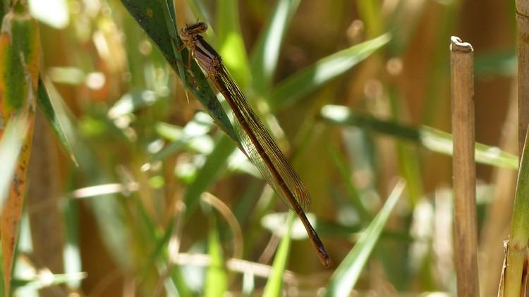 [Pseudagrion sp.] Zygoptère malgache Madaga15