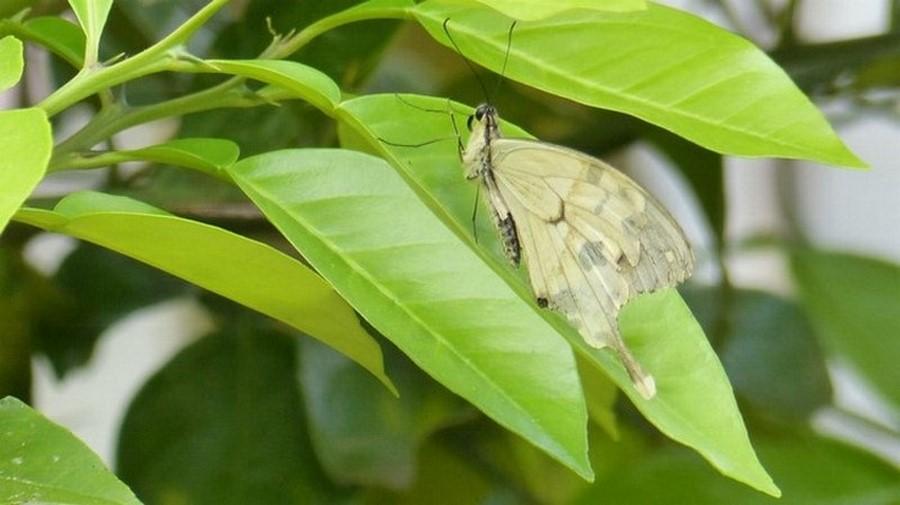 [Papilio dardanus] Encore un malgache ! Rzoser11