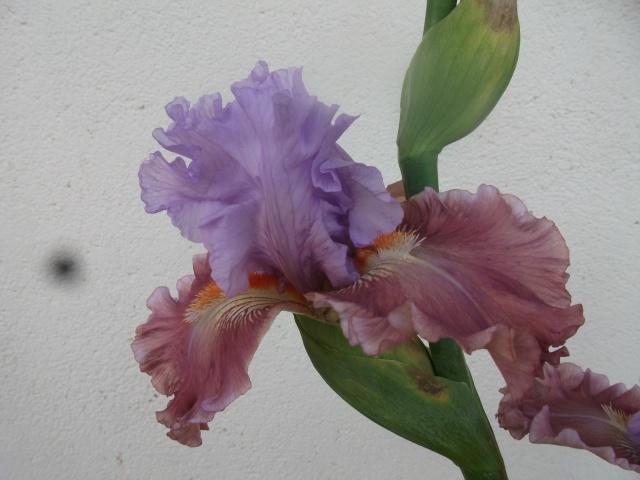 """Iris mal """"branchés"""" Dscf1315"""