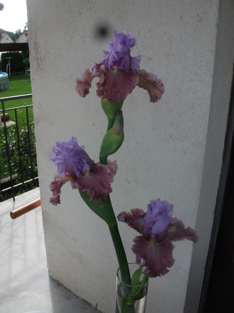 """Iris mal """"branchés"""" Dscf1316"""