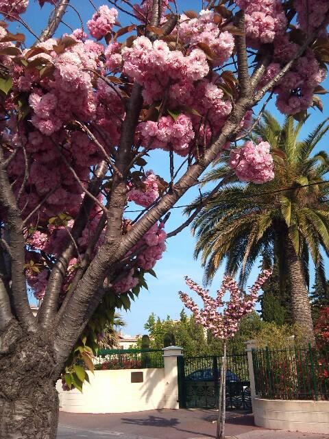 cerisier du japon 13661210