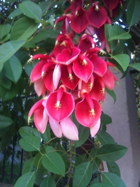 Très jolie plante que je ne connais pas : Erythrina crista-galli 13796010