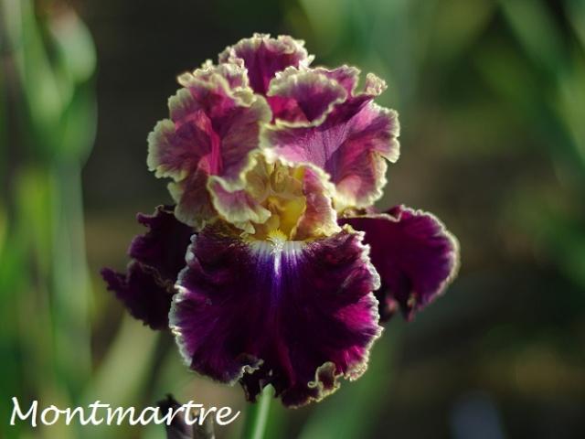 votre plus bel iris Montma12