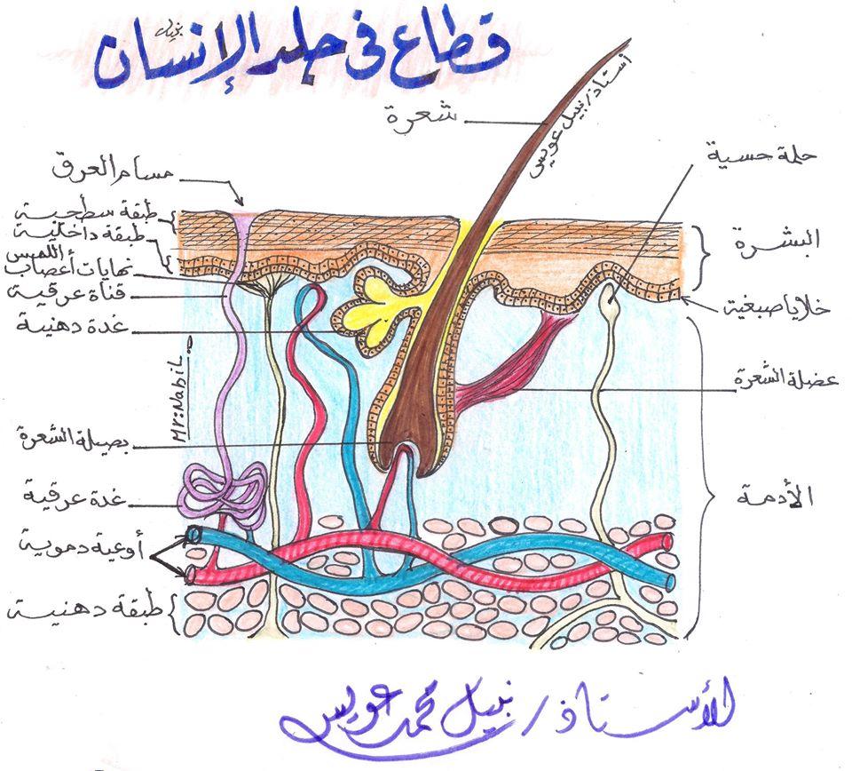 مراجعة رسومات الإخراج.. أحياء 2 ثانوي مستر/ نبيل عويس 21398