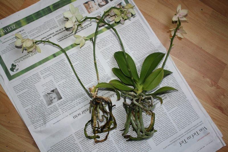 Orchidee in Glasvase - Seite 7 2014_115