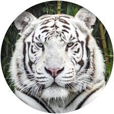 Le Cercle des Immortels - Tome 9 : L'homme-tigre de Sherrilyn Kenyon Tigre_10