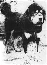 Le Dogue du Tibet au fil du temps... Xavier12