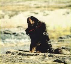 Le Dogue du Tibet au fil du temps... Xavier13