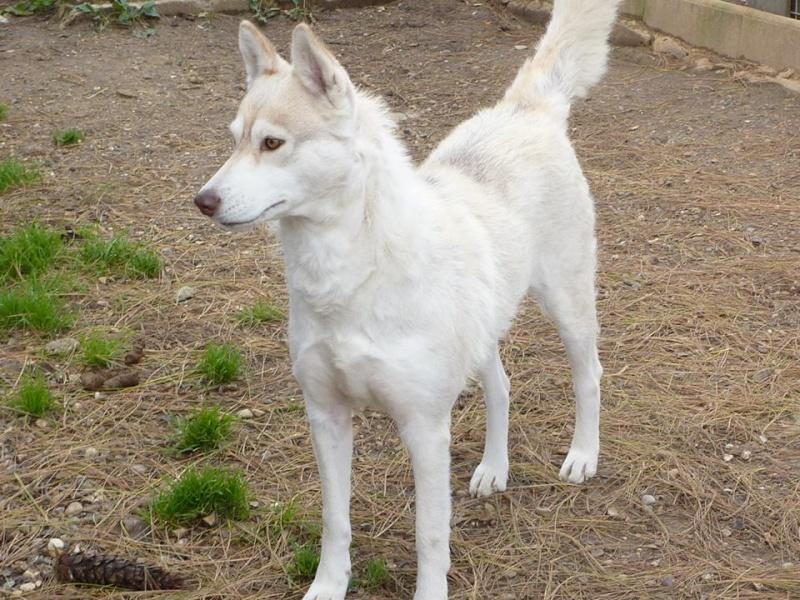Google femelle husky 4 ans pas de chats ASSO Belgique  10366010