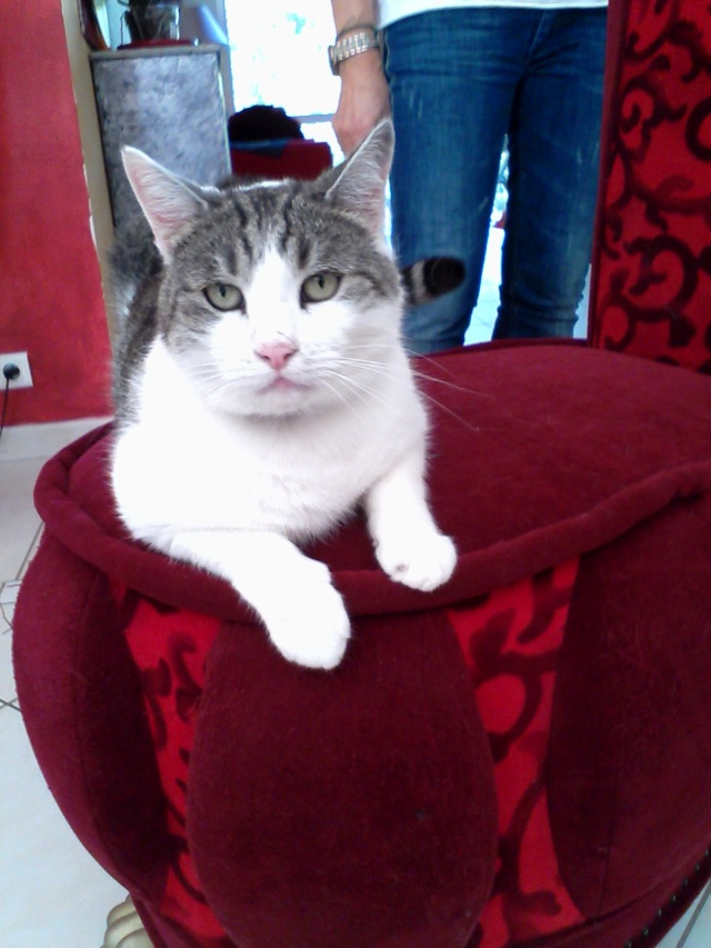 (adopté)URGENT / Ictor chat mâle de 3 ans (13)  Img_2012