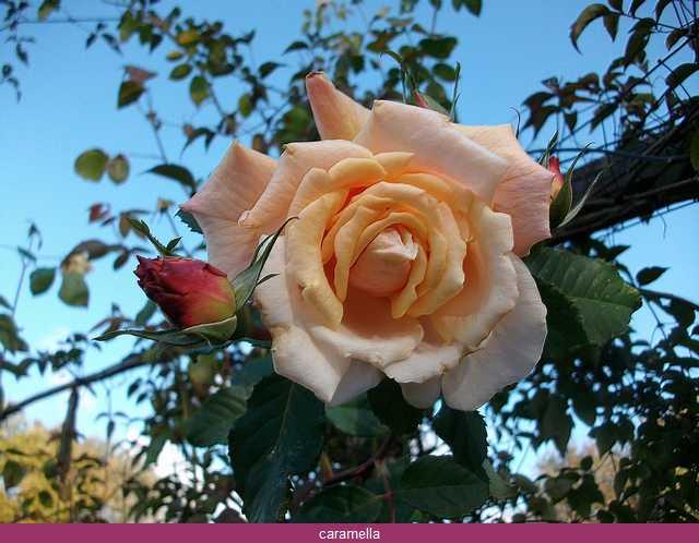 Rosa Caramella  Imgp0014