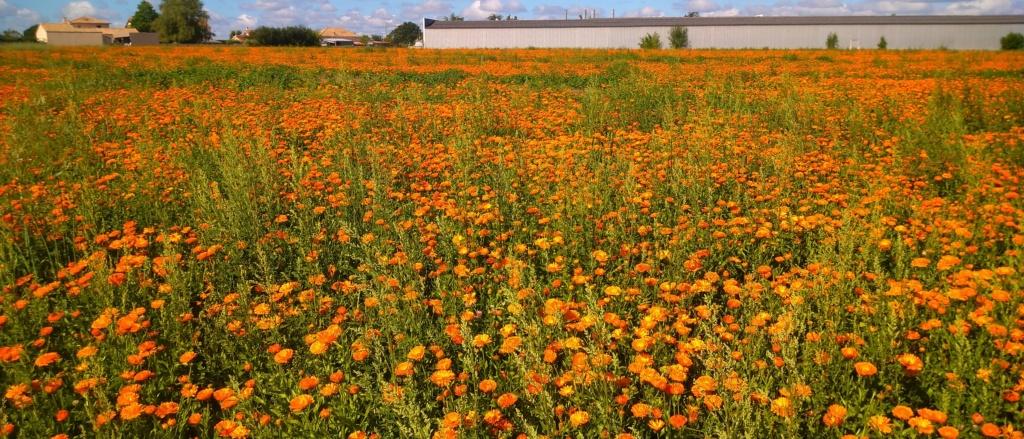 Cultures florales Dsc_0315