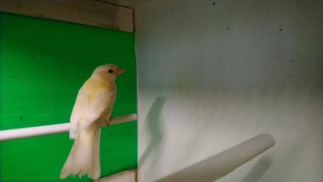 femelle pinson 2018 Dsc_0111