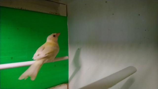 femelle pinson 2018 Dsc_0113