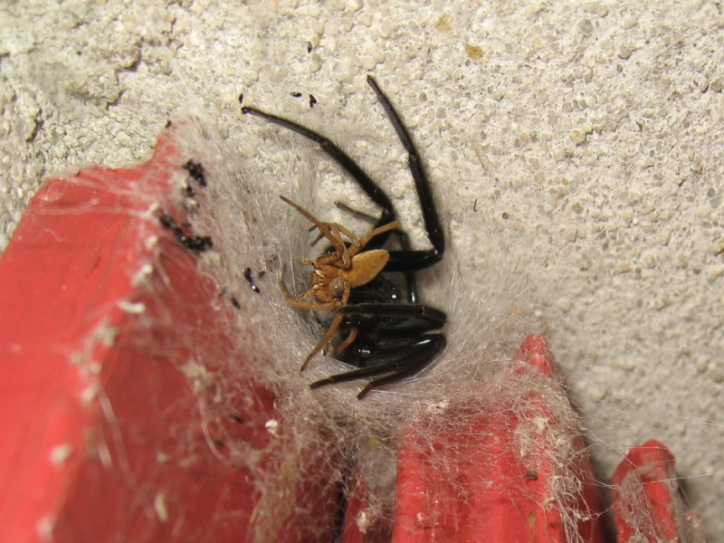 Gwaskée ! (Segestria sp., Pisaura mirabilis) Img_2410