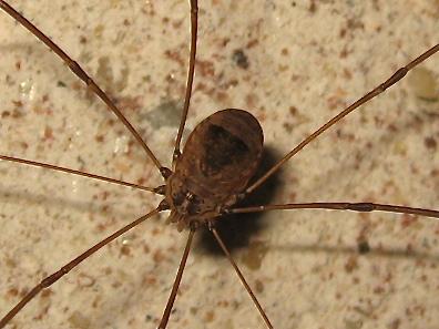 Leiobunum ? (Leiobunum blackwallii) Img_2412