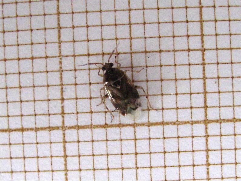 Deraeocoris lutescens Img_2511