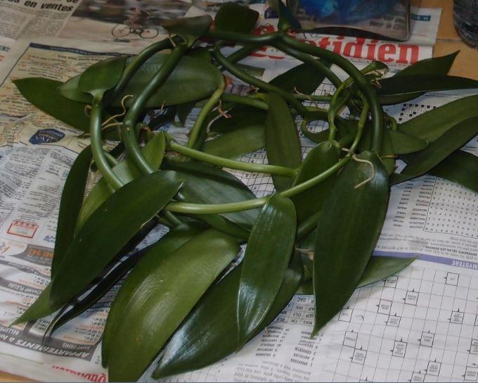 vanilla planifolia Vanill10