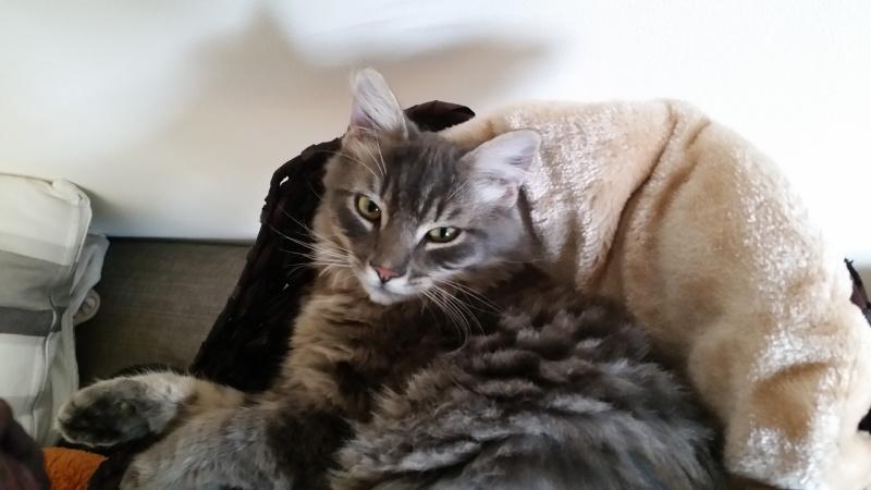 Jéjé chaton mâle BLUE TABBY né le 27/05/2014 Jipsy10