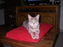 Jadore, chatonne grise tigrée  née en mai 2014  25a10