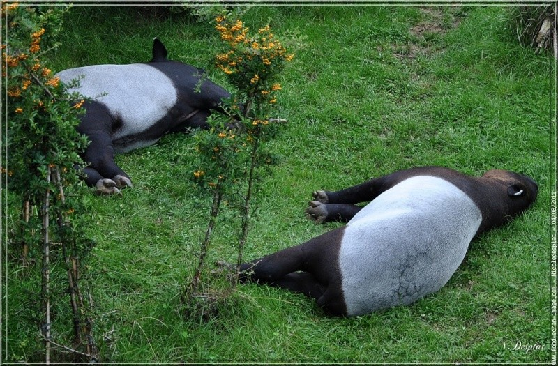 [Jeu] Association d'images - Page 10 Tapirs10
