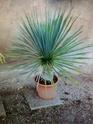 Palmier à identifier Palmie22