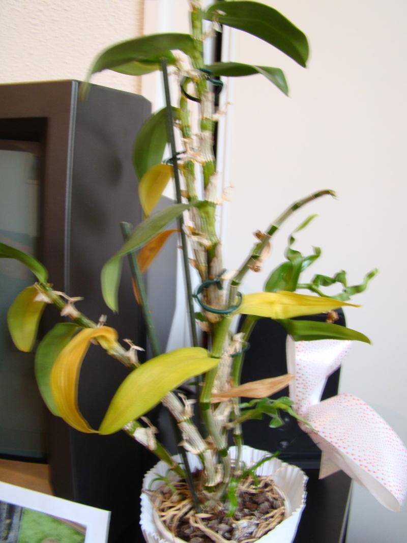 Dendrobium nobile - Page 2 Dsc04112