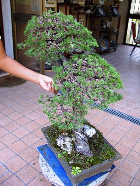 L'importanza di proteggere il substrato dei Bonsai. Foto1010