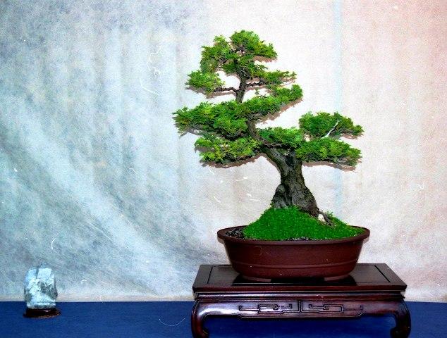 L'importanza di proteggere il substrato dei Bonsai. Foto3c10
