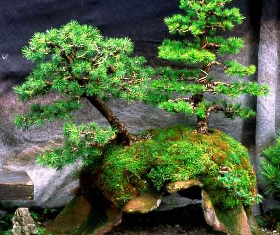 L'importanza di proteggere il substrato dei Bonsai. Foto4l10