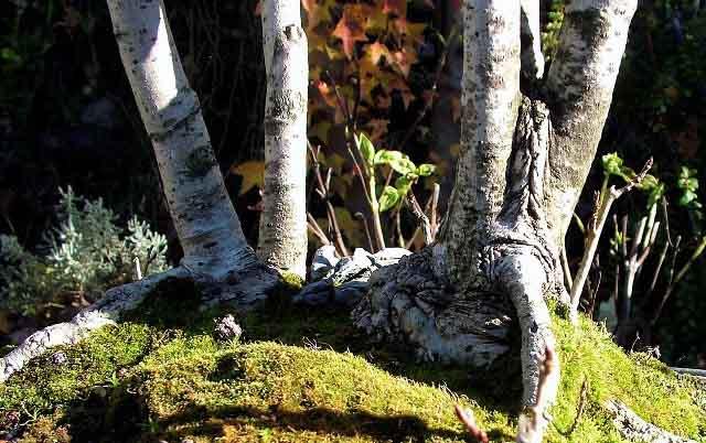 L'importanza di proteggere il substrato dei Bonsai. Foto5n10