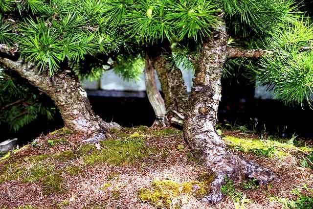 L'importanza di proteggere il substrato dei Bonsai. Foto6p10