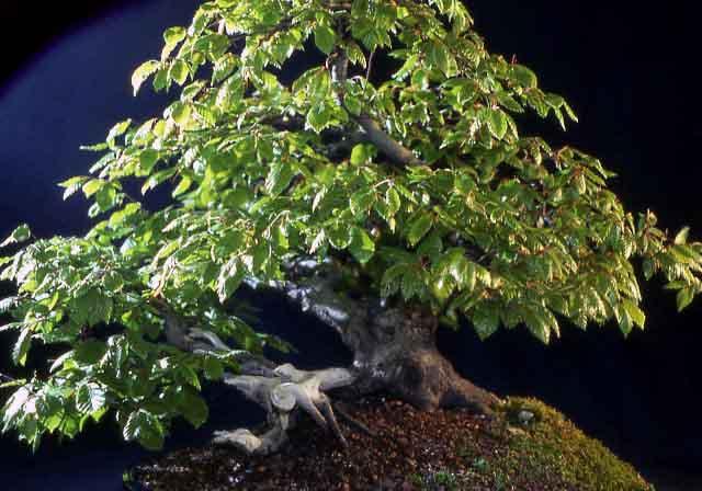 L'importanza di proteggere il substrato dei Bonsai. Foto7p10