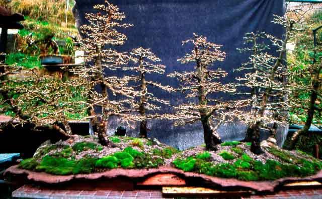 L'importanza di proteggere il substrato dei Bonsai. Foto8f10