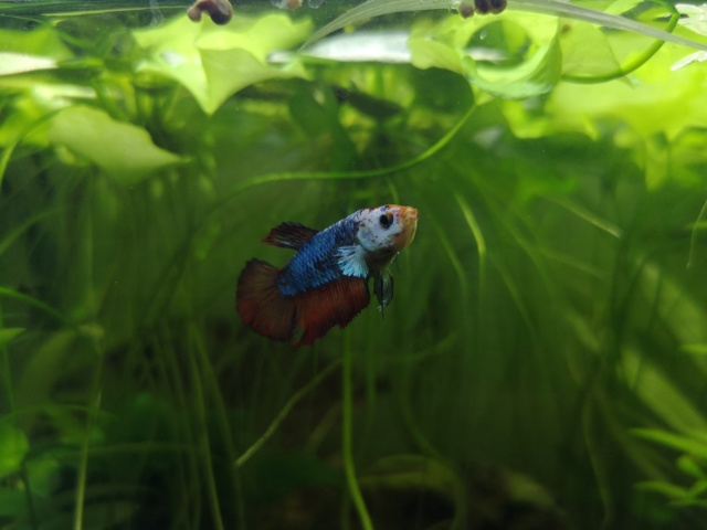 30L : Betta Splendens Plakat, Clithons, Planorbe. - Page 4 Img_2012