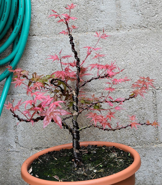 le bonsai de dams Acer_110