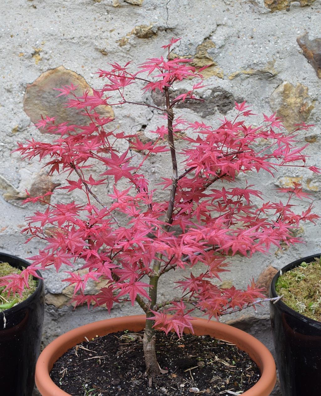 le bonsai de dams Dsc_0425