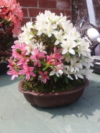 First real azalea satsuki bonsai Rsz_5010