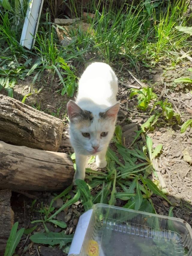 LOLLIPOPS, chatte tricolore née en 2019 - marrainée par Lilirez2 10135310